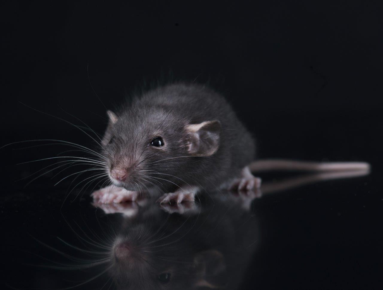 Det varmere klima har givet rotterne gode yngle- og overlevelsesforhold i Køge, og antallet af rotter er fordoblet de seneste ti år.