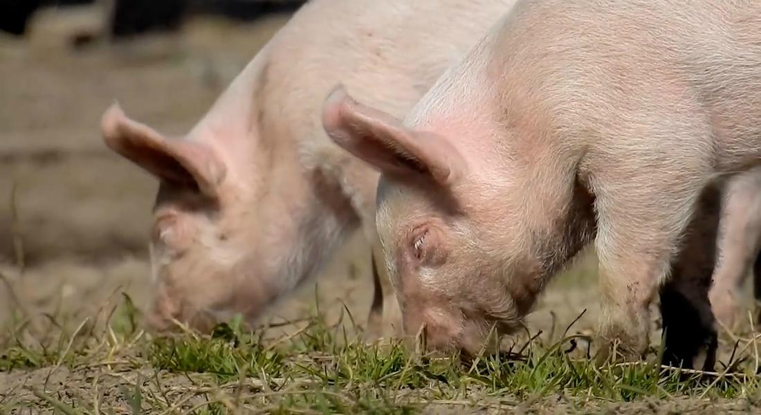 Virologer følger med i, hvilke coronavirus der forekommer hos danske dyr